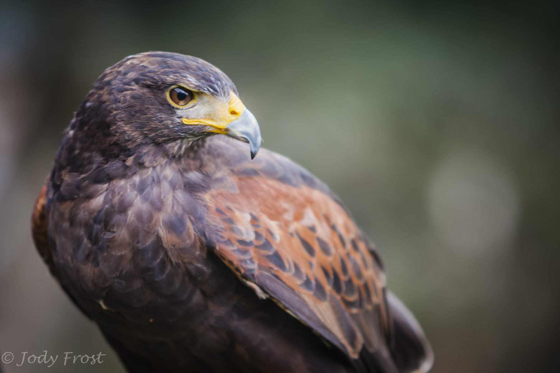 Harris Hawk at West Coast Falconery